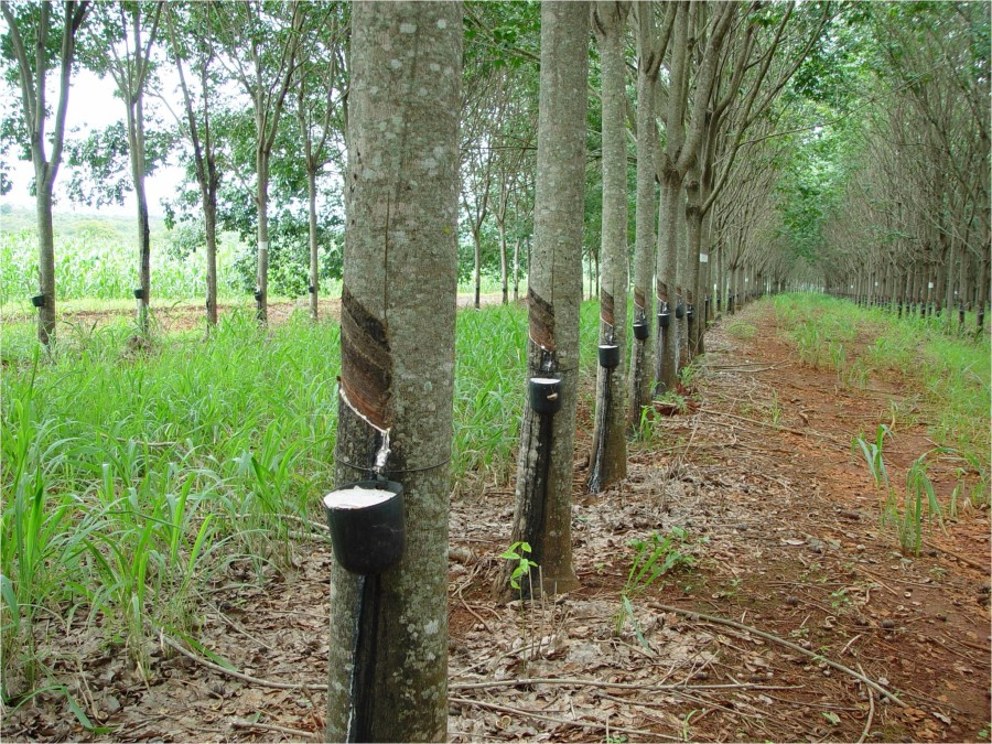 Одна латексная подушка производится из сока более 60 деревьев